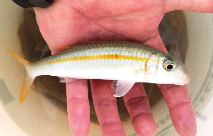 Live bait oama long live the king hawaii nearshore for Hawaiian moon fish