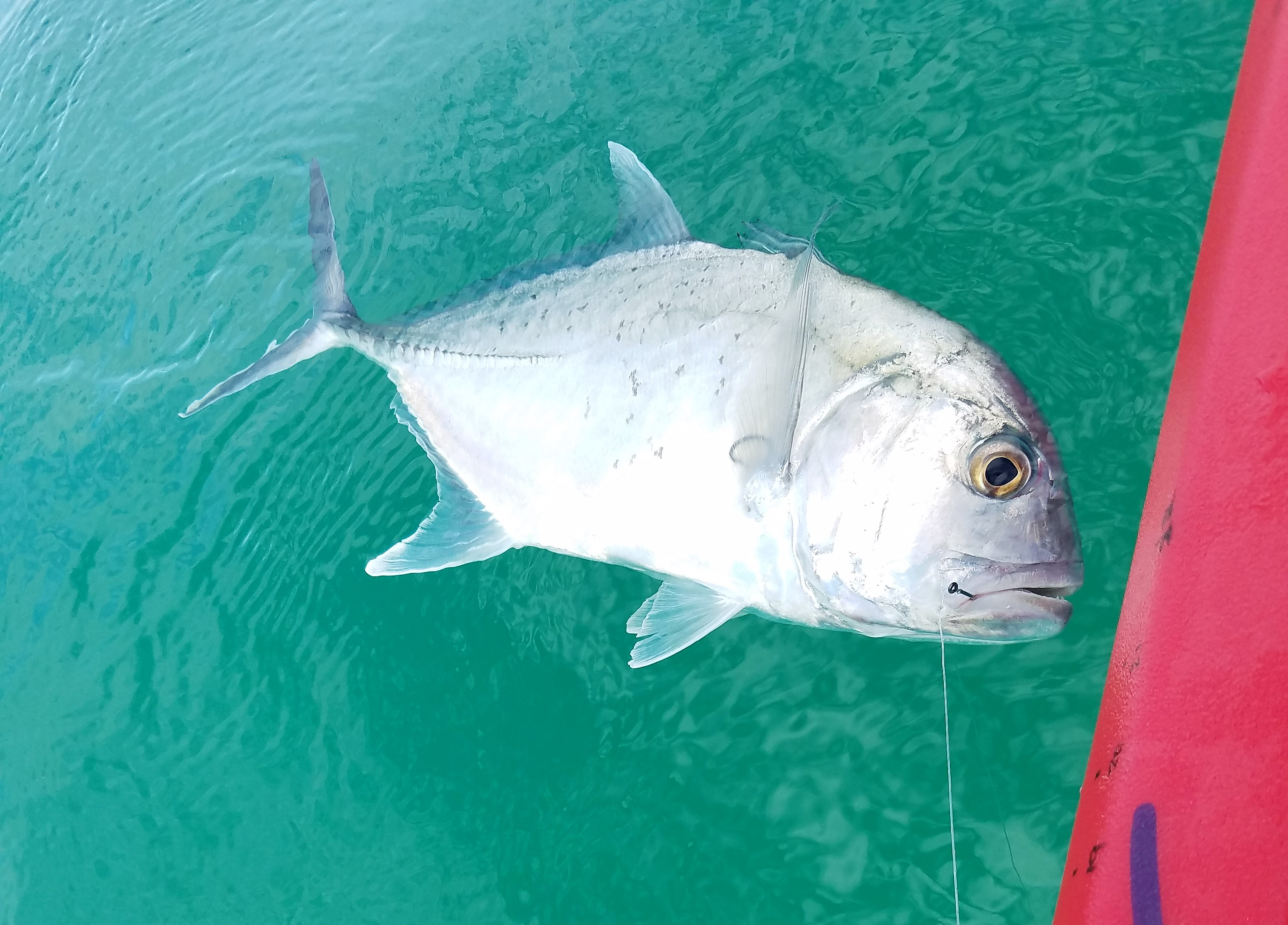Big papio still around just harder to find hawaii for Where are the fish biting near me